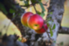 apples-3661317_1920.jpg