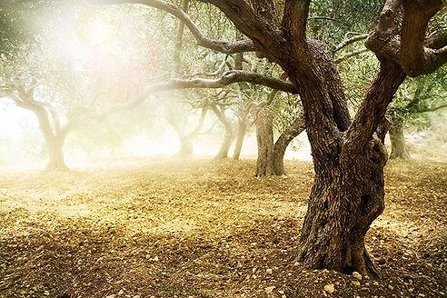 Olive%20Grove_edited.jpg