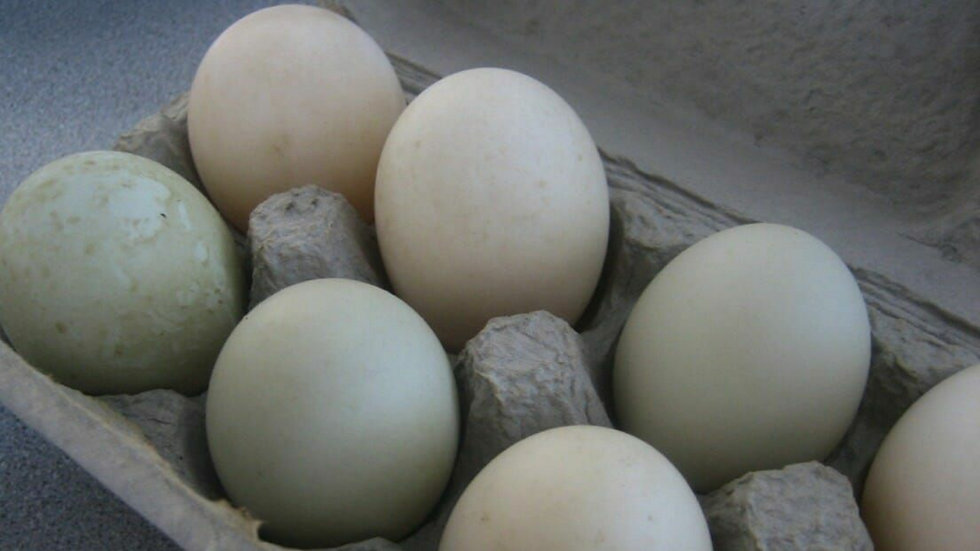 Duck Eggs - Free Range and Organic
