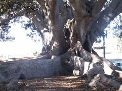 morton+bay+fig+tree.jpg