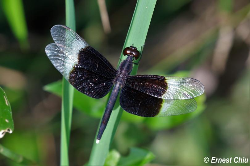 截斑脈蜻 Pied Percher