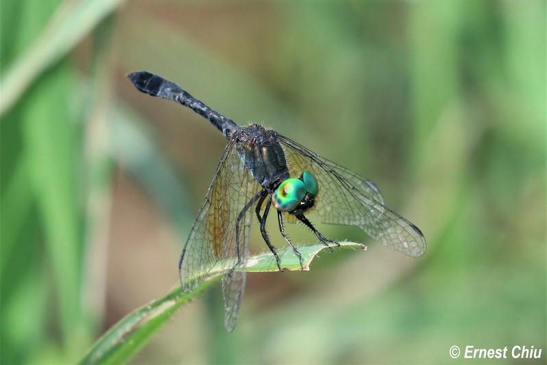 膨腹斑小蜻