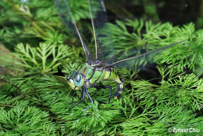 黑紋偉蜓 Blue-spotted Emperor