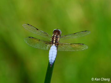 六斑曲緣蜻