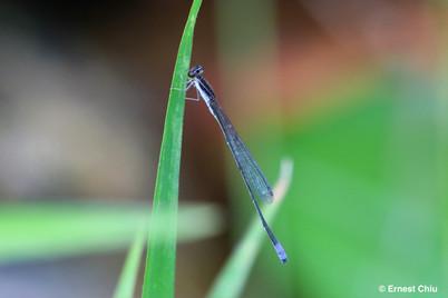 霜藍狹翅蟌