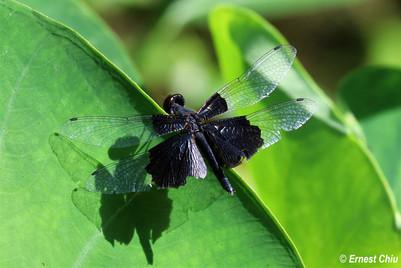 三角麗翅蜻