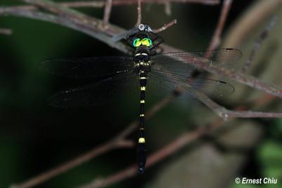 伯蘭大僞蜻