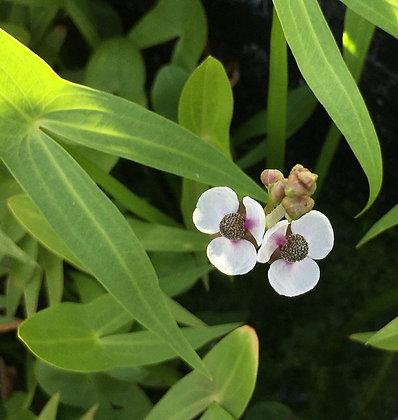 Sagittaria sagittifolia (forma italiana)