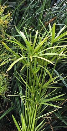 Cyperus alternifolius 'Nanus Compactus'