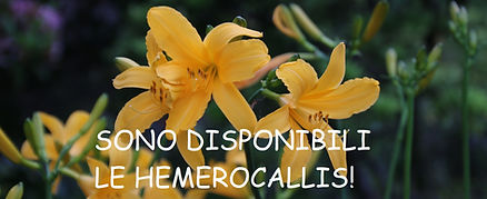 Hemerocallis_banner.jpg