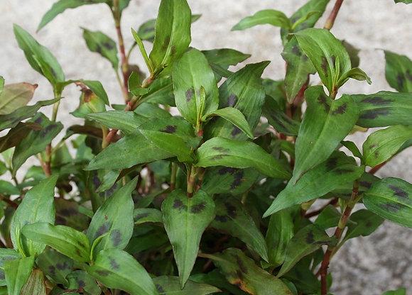 Persicaria odorata (= Polygonum odoratum)
