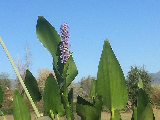Pontederia cordata 'Lanceolata'