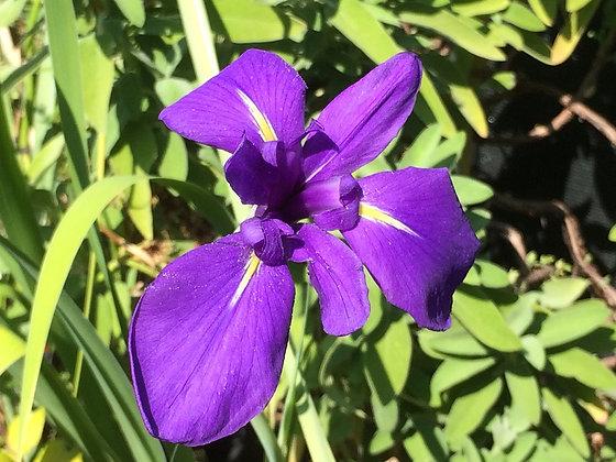 Iris laevigata 'Kumamoto'