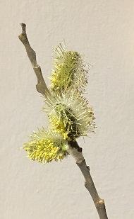 Salix cinerea (pianta maschile)