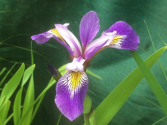 Iris x robusta 'Mountain Brook'