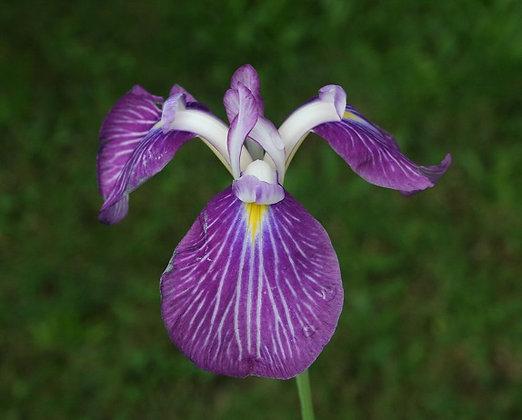 Iris ensata cv. giapponese