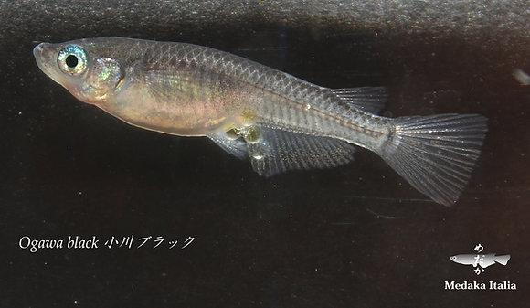Ogawa black