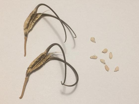 Proboscidea parviflora var. hohokamiana - semi