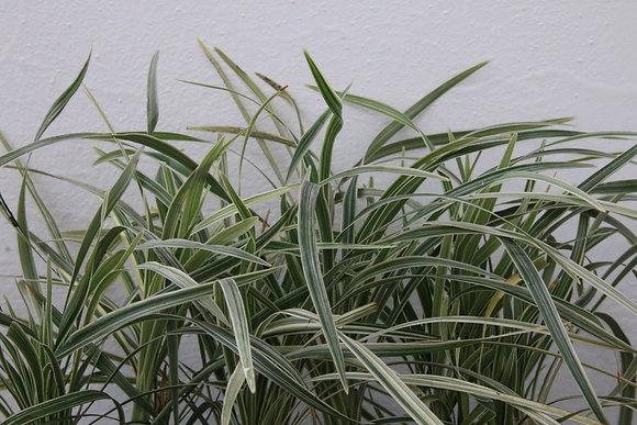 Ophiopogon jaburan 'Variegata'