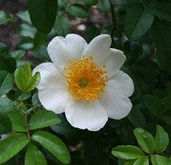 Rosa clinophylla