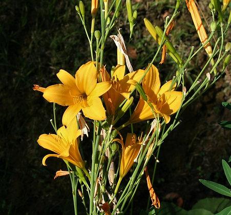 Hemerocallis multiflora
