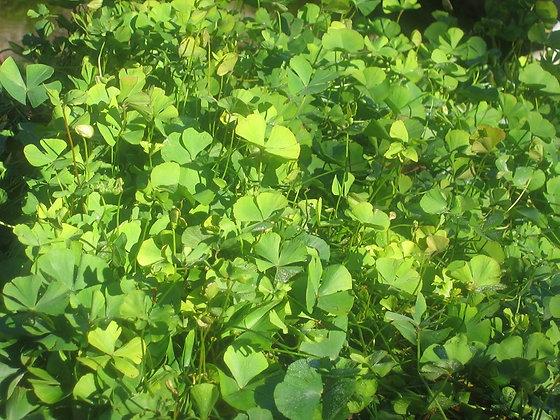 Marsile quadrifolia (ex Slovenia)