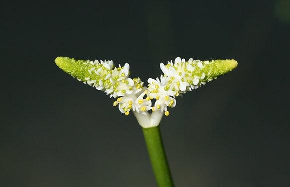 Aponogeton desertorum