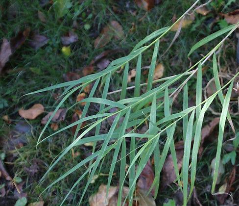 Arundo formosana