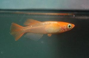 Medaka 'Totenko' ('Youkihi Hikari') -1 pesce