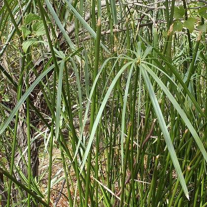 Cyperus textilis (papiro rustico)