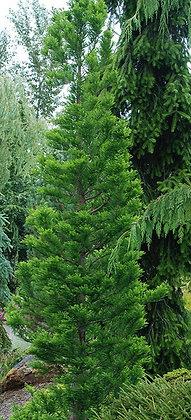 Taxodium distichum 'Peve Minaret' (cipresso calvo nano)