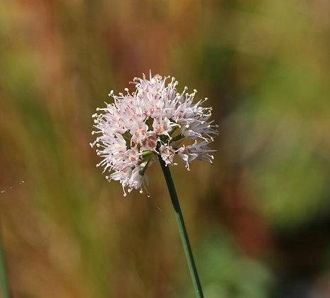 Allium suaveolens
