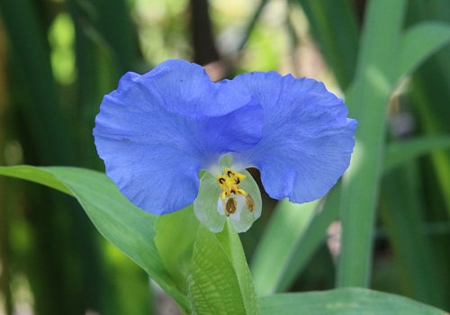 Commelina communis var. hortensis - semi