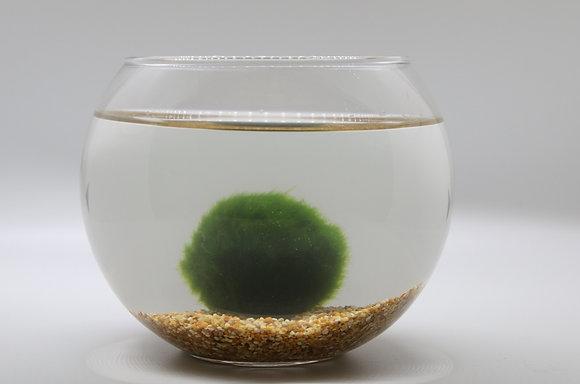 Kit boccia piccola con Cladophora piccola e sabbia chiara