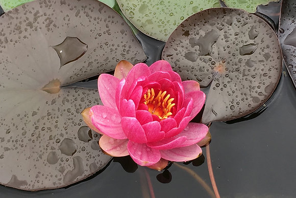 Nymphaea 'Perry's Baby Red' (ninfea nana)