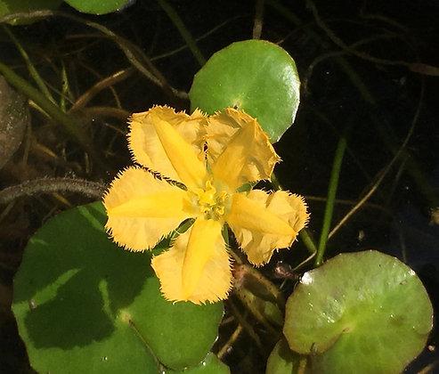 Nymphoides peltata 'Lemon Yellow'