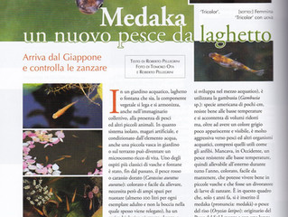 Un articolo sui medaka e sul mini-pond
