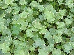 Hydrocotyle sibthorpioides 'Variegata'
