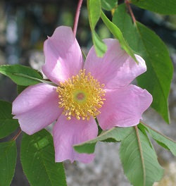 Rosa palustris