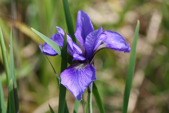 Iris Tetrasibtosa 'Three Quarters'