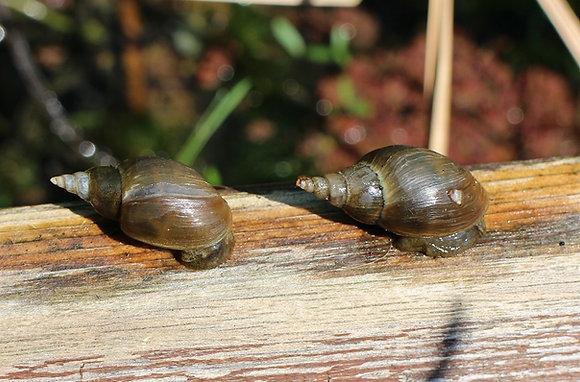 Lymnaea stagnalis (chiocciola acquatica) 3 esemplari