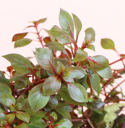 Ludwigia sp. 'Mini Super Red' (L. palustris)