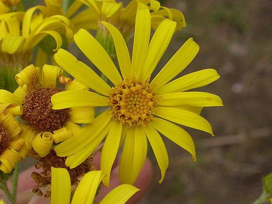 Jacobaea paludosa (= Senecio paludosus=