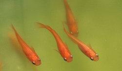 Medaka 'Youkihi RP' - 1 pesce