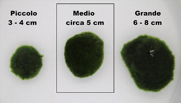 Cladophora - Marimo MEDIA