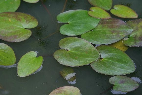 Caldesia parnassifolia (turioni invernali)