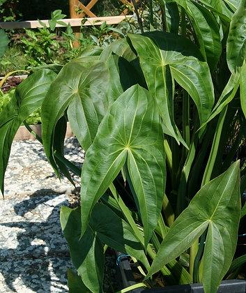 Sagittaria trifolia var. edulis 'Coerulea'