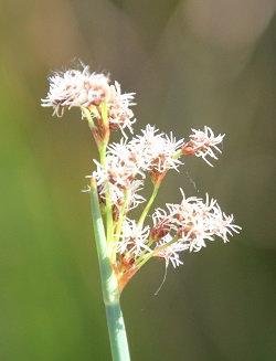 Schoenoplectus tabernaemontani ( = Schoenoplectus validus) (USA)
