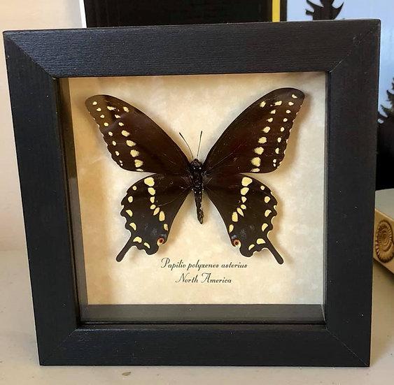 Papilio Polyxenes Asterius