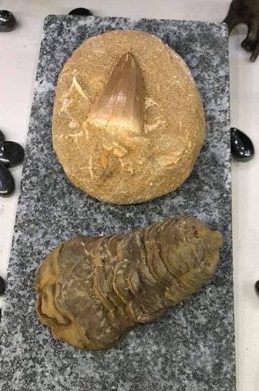 Giant Mosasaur Tooth & Calymeme Trilobite